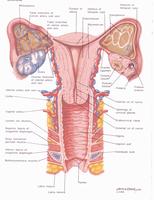 חתך רחבי דרך אברי המין הנשיים